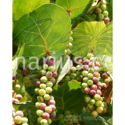 Coccoloba uvifera - Sea Grape