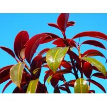 Ficus elastica 'Melany'