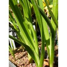 Crinum mauritianum
