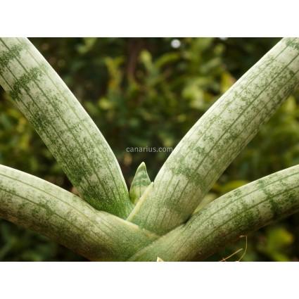 Sansevieria cylindrica var. patula