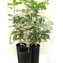 Dimocarpus longan cv. Haew