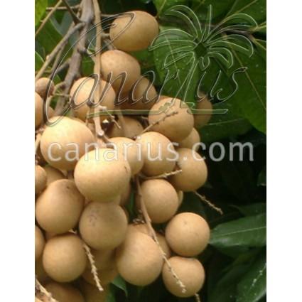 Dimocarpus longan cv. Sri Chompoo