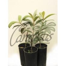 Eriobotrya japonica 'Peluche'
