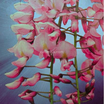 Wisteria sinensis 'Rosea'
