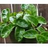 Hoya carnosa 'Krinkle 8'