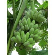 Musa 'Pisang Awak' - Dwarf Namwah Banana
