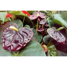 Anthurium x andreanum 'Black Queen'