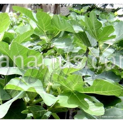 Ficus carica 'Gomera' - Canarian Fig