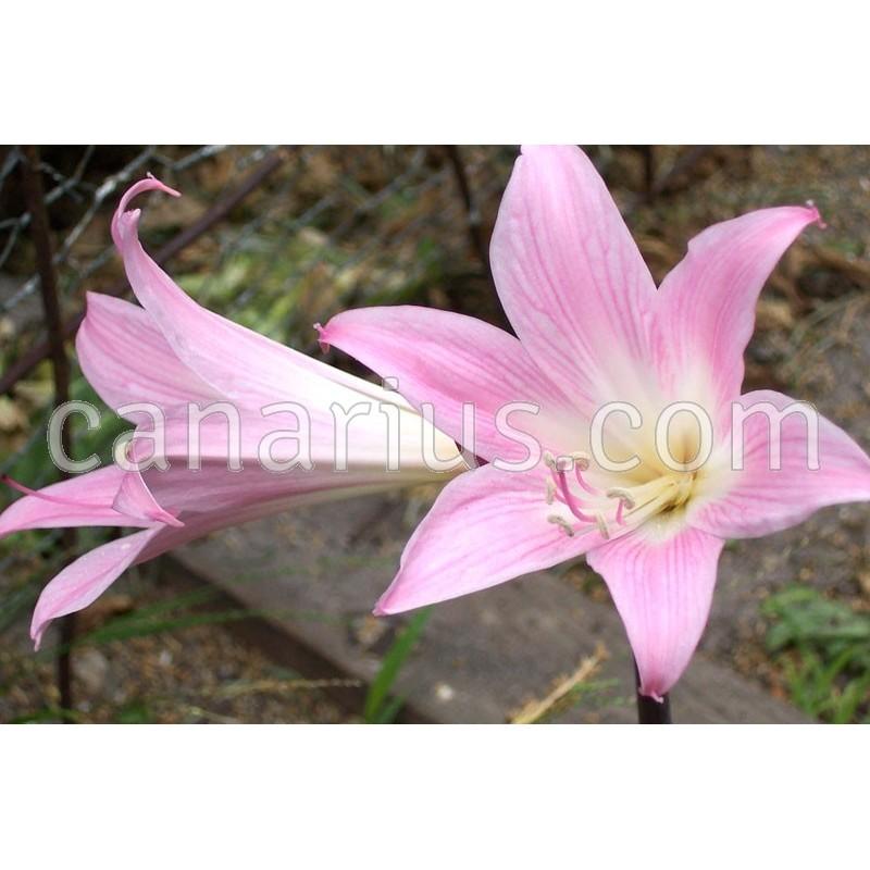 Buy amaryllis belladonna with canarius for Amaryllis belladonna
