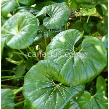 Farfugium japonicum cv. Giganteum'