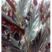 Zingiber malaysianum 'Midnight'