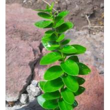 Hoya cumingiana - LARGE