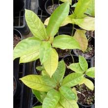 Passiflora 'Panama Red'