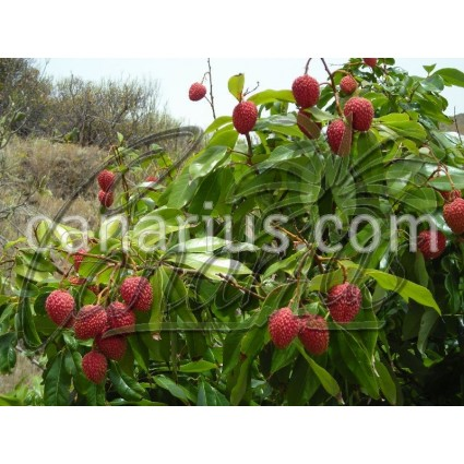 Litchi chinensis 'Early Large Red'
