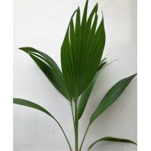 Pritchardia thurstonii