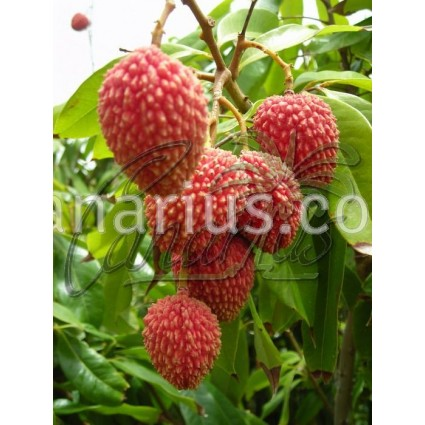 Litchi chinensis Tai So