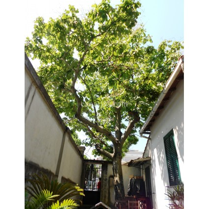 Firmiana simplex - Chinese Parasol Tree