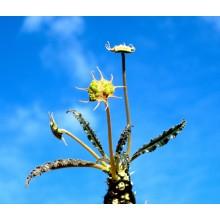 Dorstenia crispa var. lancifolia