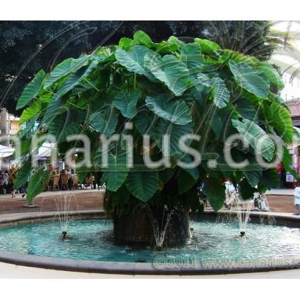 Colocasia esculenta Ñame Blanco - Taro, Ñame
