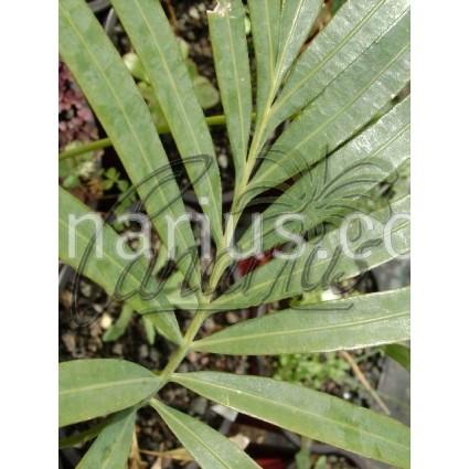 Cycas diannanensis - SPECIMEN