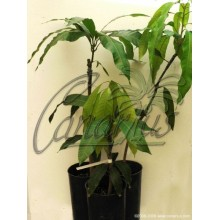 Mangifera indica cv. ' Alphonso '