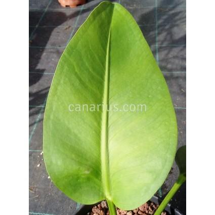 Anthurium maricense