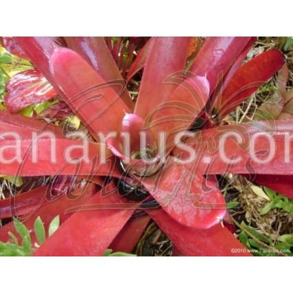 Neoregelia cruenta var. rubra
