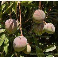 Mangifera indica cv. ' Haden '
