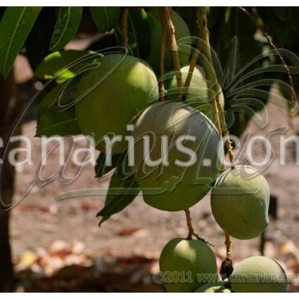 Mangifera indica cv. ' Kensington '
