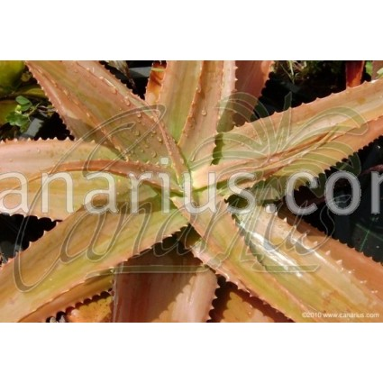 Aloe bulbilifera var. paulianae - Large