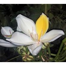 Gigasiphon humblotianum