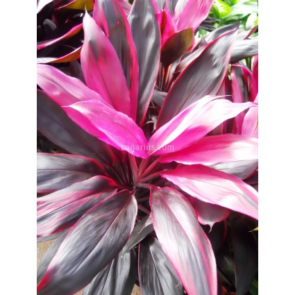 Cordyline fruticosa 'Red Edge'