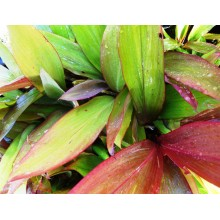 Cordyline - Descendants of Prince Albert - Pack of 2 Plants