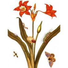 Hippeastrum puniceum