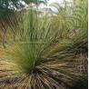 Dasylirion quadrangulatum - Cont. 20 cm - 3 years
