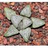 """Haworthia pygmaea var. argenteomaculosa """"Select White"""""""
