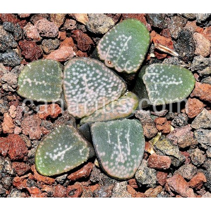Haworthia groenewaldii - GM695 - S of Buffeljagsrivier