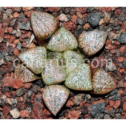 "Haworthia picta ""Beigy Cream"""