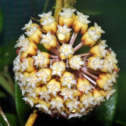 Hoya bicolor