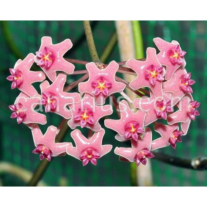 Hoya bicolensis