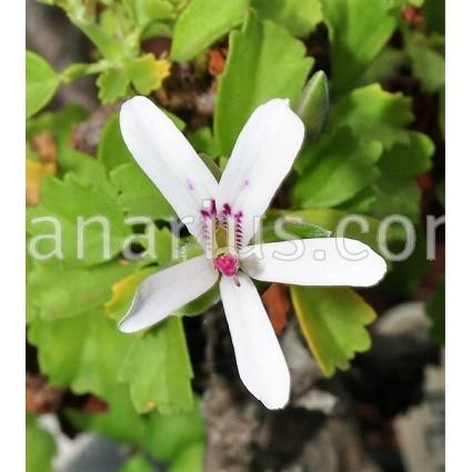 Pelargonium xerophyton
