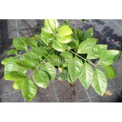 Trichilia havanensis