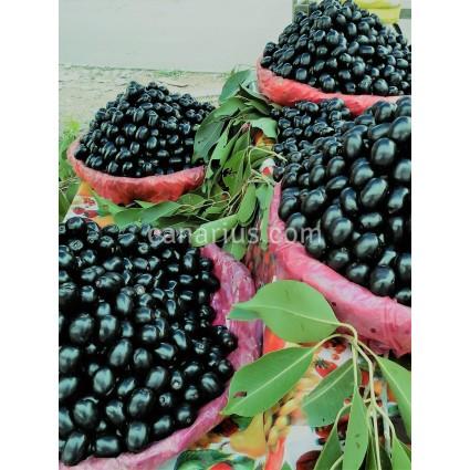 Syzygium cumini - Jambolan