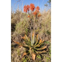 Aloe greatheadii var. davyana