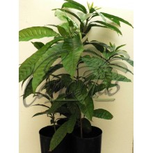 Pouteria campechiana  ' Bruce ' - Canistel