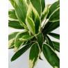 Cordyline fruticosa 'New Conga'