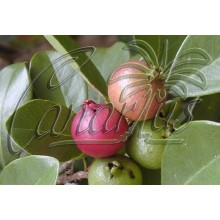 Psidium cattleianum - Guayabo fresa, Strawberry Guava