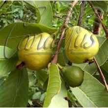 Psidium guajava cv. Cubano enano, Dwarf Cuban