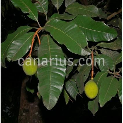 Mangifera indica 'Odorata'