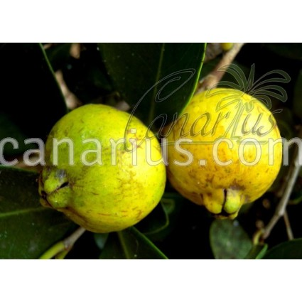 Psidium cattleianum Yellow Form - Lemon Guava